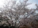 舞鶴公園花見