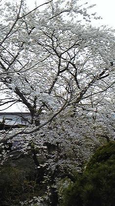 4.20桜