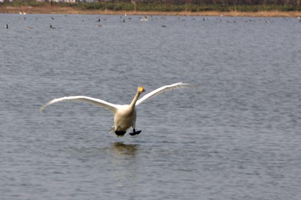 白鳥の着水ミラ4