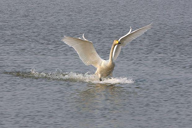 白鳥の着水ミラ3