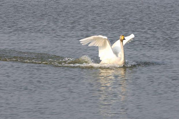 白鳥の着水No2
