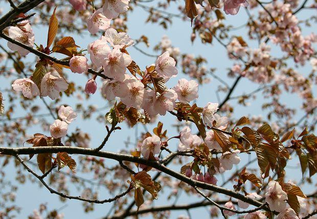 4月28日深山の桜-2