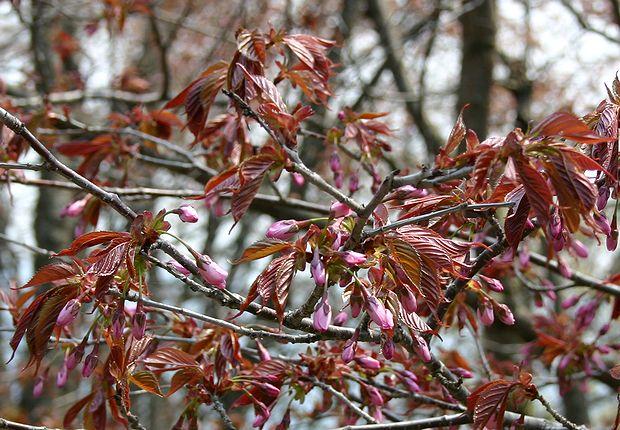 4月28日桜の以上