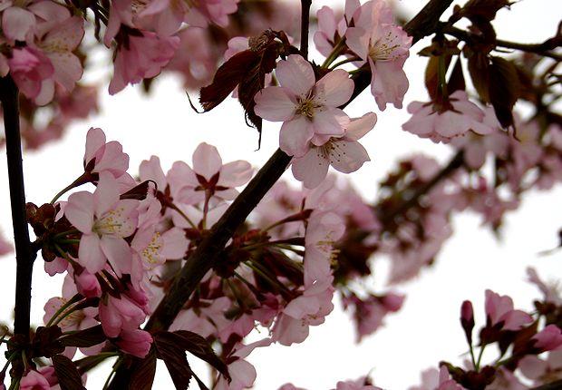 4月28日桜満開
