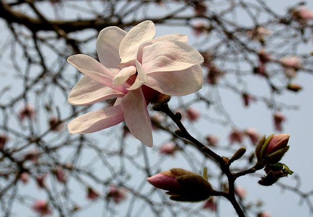 4月28日花桃