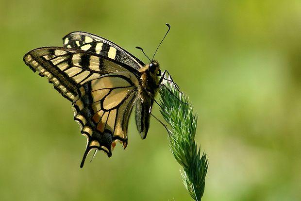 6月4日蝶々