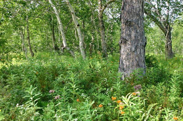 カムチャッカの林No1