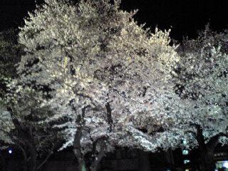 明日館  桜2