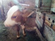こわがりの子牛。可愛いなぁ~