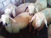 群がる子羊たち