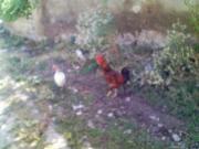 道端をウロつく鶏