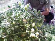 生でヒヨコ豆を食べる