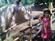 姪っ子と牛