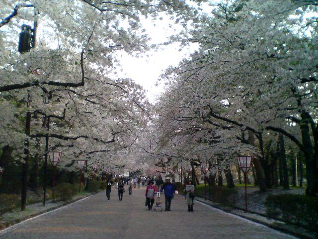 弘前の桜1