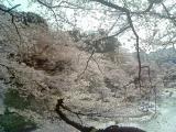 千鳥ヶ淵桜3