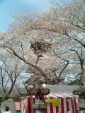 上野公園桜3