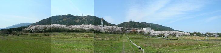 20080404sakura.jpg