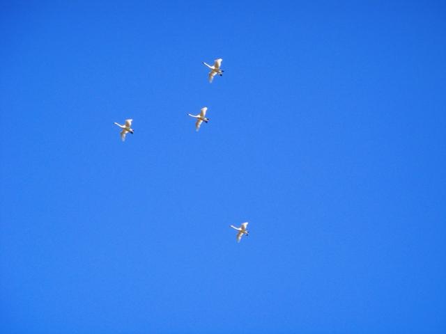 白鳥の隊列