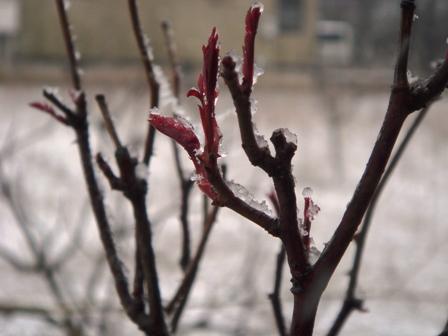 090326.雪の中のバラ