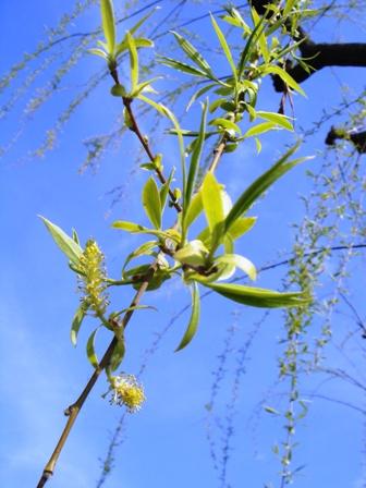 1-2.柳の新芽