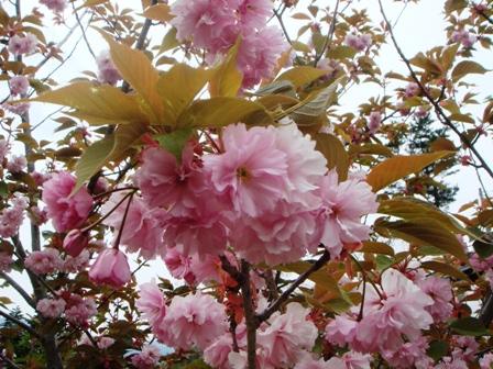 1-7.八重桜が満開