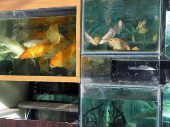 金魚 RIMG0518