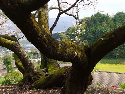 明星桜の根