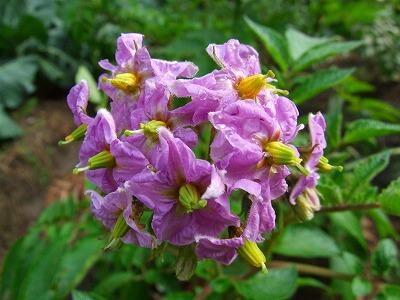 ジャガの花