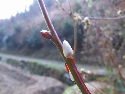 ヤナギの芽