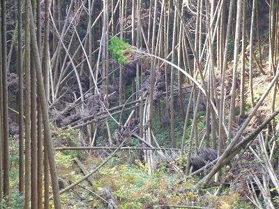 荒れた杉林