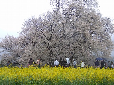 雨の一心行桜