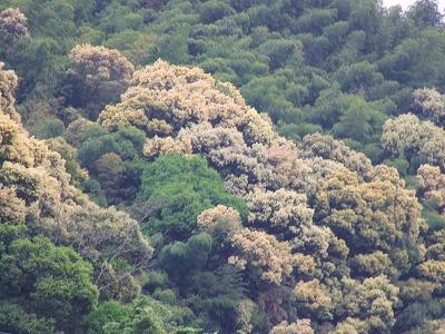 椎の木の花