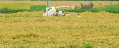 阿蘇の稲刈り
