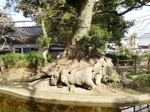 春日神社の楠木