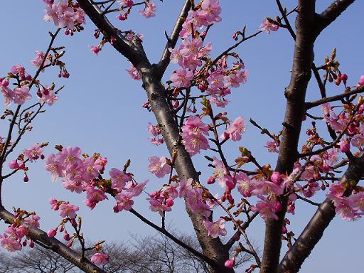 P21501572月の桜1