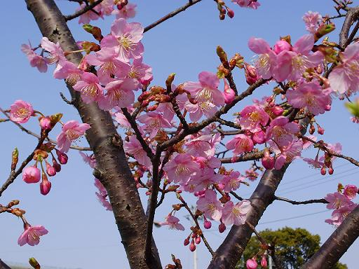 P21501582月の桜2