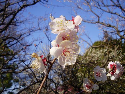小金井公園梅4