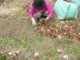 玉ねぎに落ち葉のマルチ