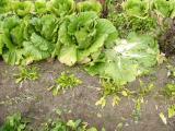 白菜の収穫始めました。
