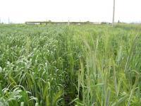 0805-30古代小麦