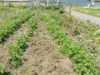 0806-18農園ジャガイモ