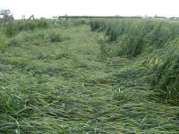 0806-23古代小麦