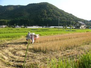 08007-1小麦刈り取り1