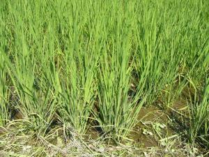 0807-2Tさんちの稲