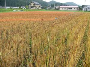 08007-1小麦刈り取り4