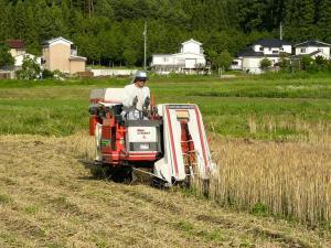 08007-1小麦刈り取り2