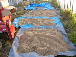 08007-1小麦の乾燥