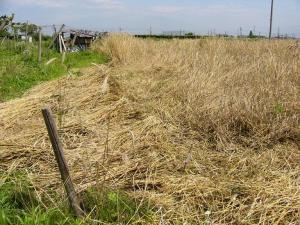 0807-14ライ麦刈り取り1