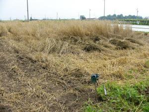 0807-20ライ麦刈り取り