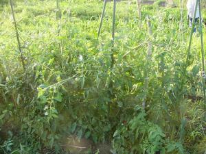 0807-29 世界一トマト